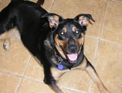TCM Case Study: Canine Hemangiosarcoma