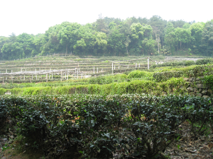 Long Jing tea fields