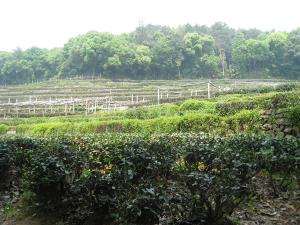 Long Jing tea fields