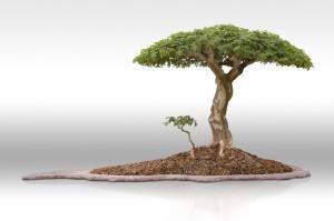 Erik Wygert's mature Pierneef Brazilian raintree bonsai.