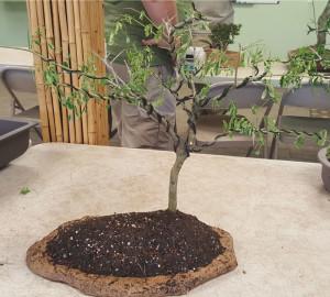 Finished African Flat Top bonsai.