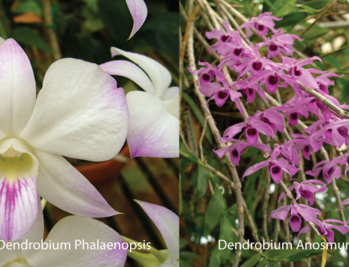What Not to Do with Orchids; Dendrobium Anosmum & Dendrobium Phalaenopsis