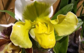 Yellow Paphiopedilum