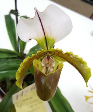 Paph. (Via Victoria x Spring Free) x spicerianum grown by Barb Murza